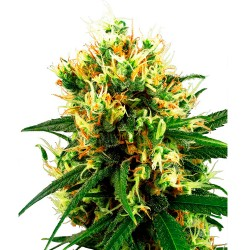 WhiteHazeAuto-WhiteLabelSeed-ElCultivar-growshop