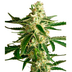 WhiteDieselHazeAuto-WhiteLabelSeed-ElCultivar-growshop