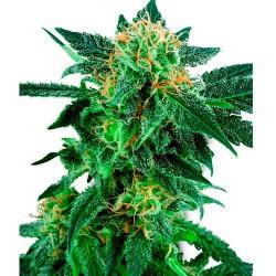 SnowRyderAuto-WhiteLabelSeed-ElCultivar-growshop
