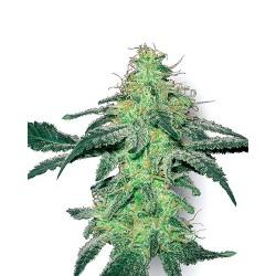 WhiteSkunk-WhiteLabelSeed-ElCultivar-growshop