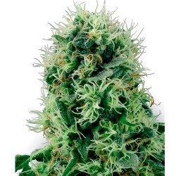 PurePowerPlant-WhiteLabelSeed-ElCultivar-growshop