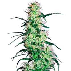 PurpleHaze-WhiteLabelSeed-ElCultivar-growshop