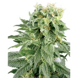 DoubleGum-Regular-WhiteLabelSeed-ElCultivar-growshop