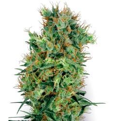 CaliOrangeBud-Regular-WhiteLabelSeed-ElCultivar-growshop