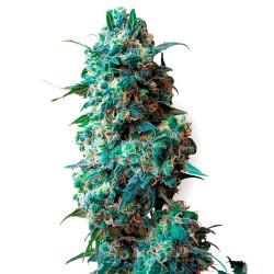 AfghanKush-Regulares-WhiteLabelSeed-ElCultivar-growshop