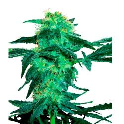 WhiteIceRegular-WhiteLabelSeed-ElCultivar-growshop