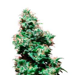 KaliHaze-Regular-WhiteLabelSeed-ElCultivar-growshop