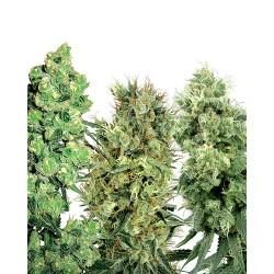 MixWhiteLabel-Regular-WhiteLabelSeed-ElCultivar-growshop