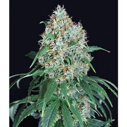WhiteWidow-MedicalSeeds-ElCultivar-growshop