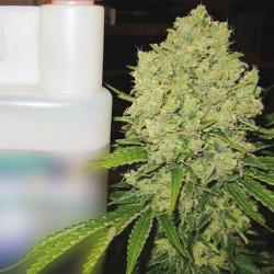 Prozack-MedicalSeeds-ElCultivar-growshop