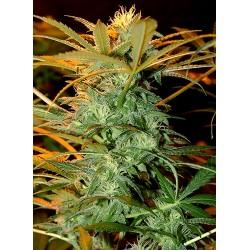 MrKriticalMass-MrHide-ElCultivar-growshop