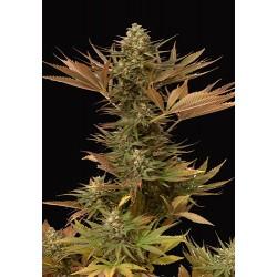 MrEidenMass-MrHide-ElCultivar-growshop