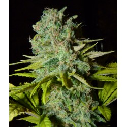 BIG LIGHTS EL CULTIVAR GROWSHOP