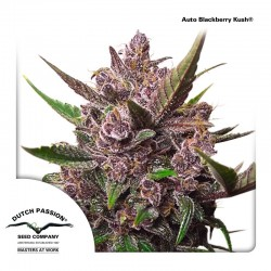 AutoBlackberry-DutchPassion-El-cultivar-Growshop