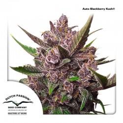 AutoBlackberry-DutchPassion-El-cultivar-Growshop