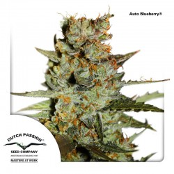 AutoBlueberry-DutchPassion-ElCultivar-Growshop.