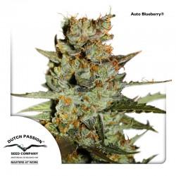 AutoBlueberry-DutchPassion-ElCultivar-Growshop.