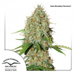 AutoBrooklynSunrise-DutchPassion-ElCultivar-Growshop