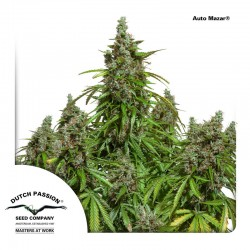 AutoMazar-DutchPassion-ElCultivar-Growshop
