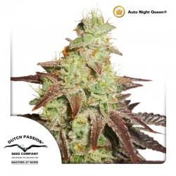 AutoNightQueen-DutchPassion-ElCultivar-Growshop