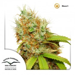 Mazar-Reg-DutchPassion-ElCultivar-Growshop