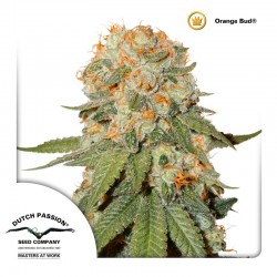 OrangeBud-Reg-DutchPassion-ElCultivar-Growshop