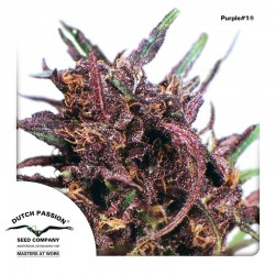 Purple1-Reg-DutchPassion-ElCultivar-Growshop