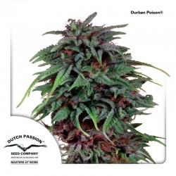 DurbanPoison-DutchPassion-ElCultivar-Growshop