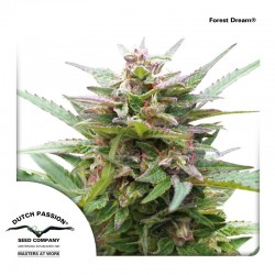 ForestDream-DutchPassion-ElCultivar-Growshop