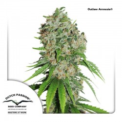 OutLawAmnesia-DutchPassion-ElCultivar-Growshop