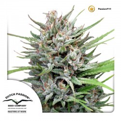 Passion1-DutchPassion-ElCultivar-Growshop