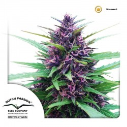Shaman-DutchPassion-ElCultivar-Growshop.jpg