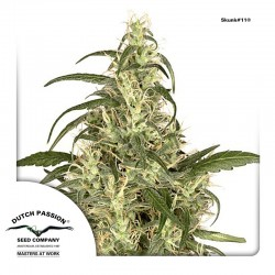 Skunk11-DutchPassion-ElCultivar-Growshop.jpg