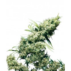 JamaicanPearl-SensiSeeds-ElCultivar-growshop.jpg