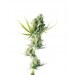 Durban-SensiSeeds-elcultivar-growshop.jpg