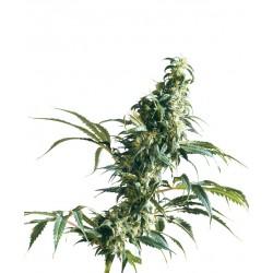 MexicanSativa-Regular-SensiSeeds-El-Cultivar-growshop.jpg