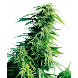 HinduKush-Regular-SensiSeeds-El-Cultivar-growshop.jpg
