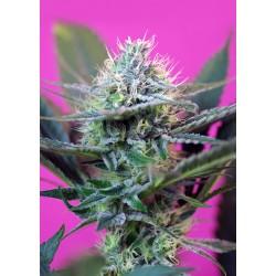 +SPEEDAUTO-SweetSeeds-ElCultivar-growshop