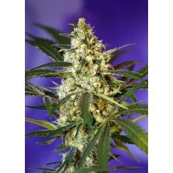 FastBudN2-SweetSeeds-ElCultivar-growshop.jpg
