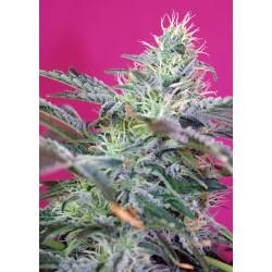 SweetCheeseAuto-SweetSeeds-ElCultivar-growshop.jpg