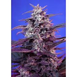 BloodySkunkAuto-SweetSeeds-ElCultivar-growshop