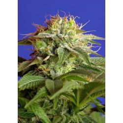GreenPoison-SweetSeeds-ElCultivar-growshop.jpg