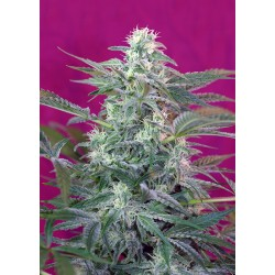 BigFoot-SweetSeeds-ElCultivar-growshop.jpg