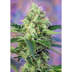 CrystalCandy-SweetSeeds-ElCultivar-growshop.jpg