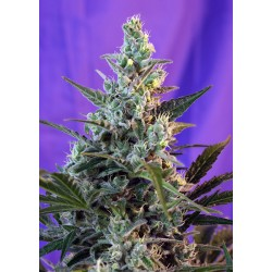 SweetSkunkF1-FastVersion-SwetSeeds-ElCultivar-growshop.jpg