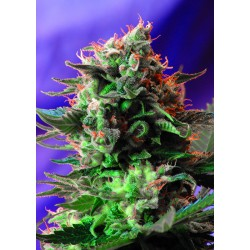 Jack47F1-FastVersion-SweetSeeds-ElCultivar-growshop.jpg