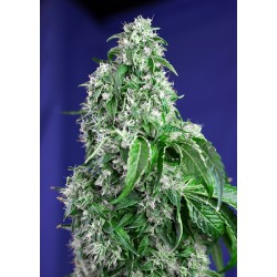 BigDevilF1-FastVersion-SweetSeeds-ElCultivar-growshop.jpg