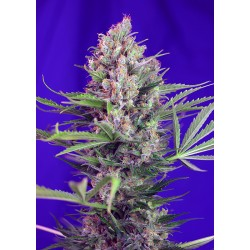 CreamMandarineF1-FastVersion-SweetSeeds-ElCultivar-growshop.jpg