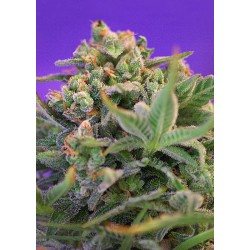 SweetCheeseF1-FastVersion-SweetSeeds-ElCultivar-growshop.jpg