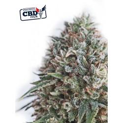 CBDCritical47-Positronics-ElCultivar-growshop.jpg